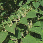 DMP-LLP knotweed bush